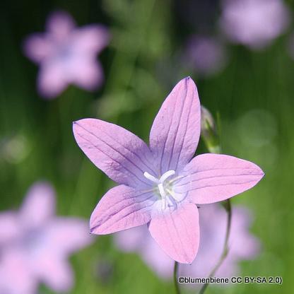 campanula-loddon-anna-blumenbiene-cc-by-sa-2.0-.jpg