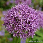 category-image-alliums.jpg