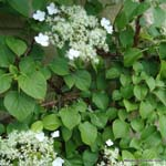 category-image-climbing-hydrangea.jpg
