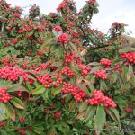 category-image-cotoneaster-wallygrom-cc-by-sa-2.0-.jpg