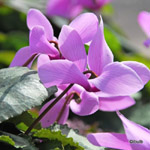 category-image-cyclamen.jpg