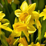 category-image-daffodils.jpg
