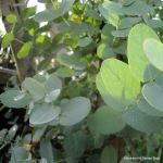category-image-eucalyptus-gunnii-2.jpg