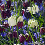 category-image-fritillaria.jpg