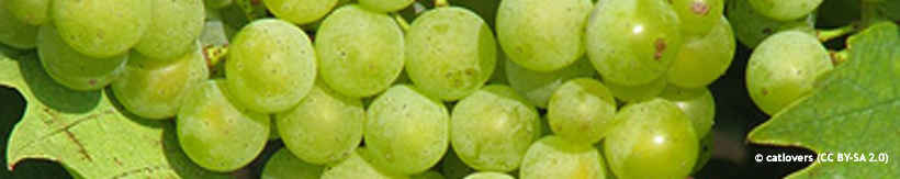 category-image-grapes.jpg