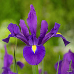 category-image-iris.jpg