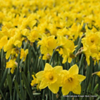 category-image-large-daffs.jpg