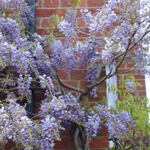 category-image-wisteria.jpg