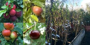 category-image2-fruit-trees-bareroot-.jpg
