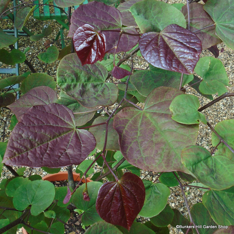 cercis-canadensis-forest-pansy-2.jpg