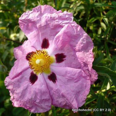 cistus-purpureus-dichohecho-cc-by-2.0-.jpg