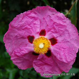 cistus-supermoving-cc-by-2.0-.jpg
