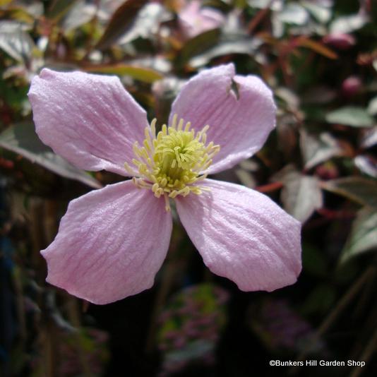 clematis-montana-fragrant-spring-.jpg