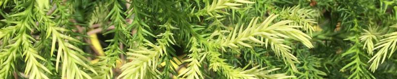 conifer-banner.jpg