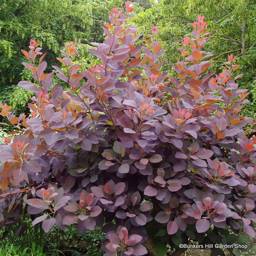 cotinus-grace-.jpg
