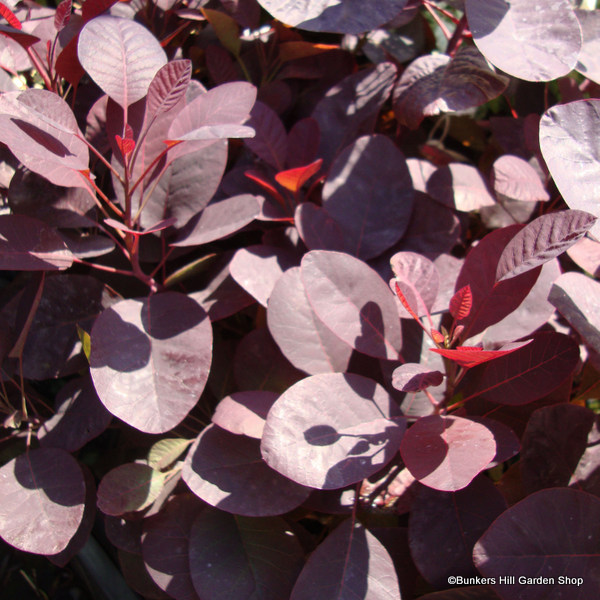 cotinus-royal-purple-.jpg