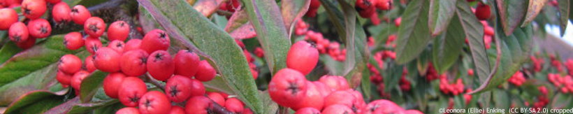 cotoneaster-cornubia-banner.jpg