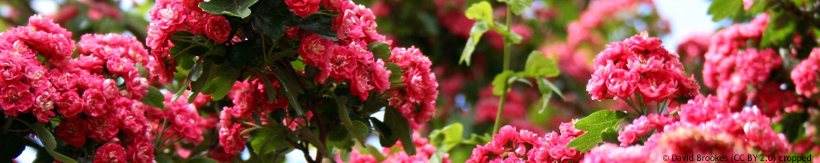crataegus-ornamental-tree-banner.jpg