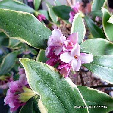 daphne-odora-aureomarginata-wlcutler-cc-by-2.0-.jpg