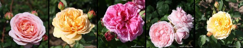 david-austin-roses-banner.jpg