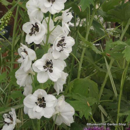 delphinium-galahad-white-.jpg