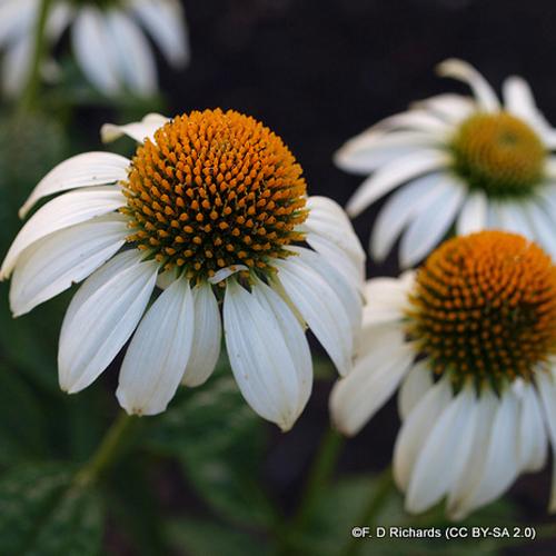 echinacea-lucky-star-f.-d-richards-cc-by-sa-2.0-.jpg