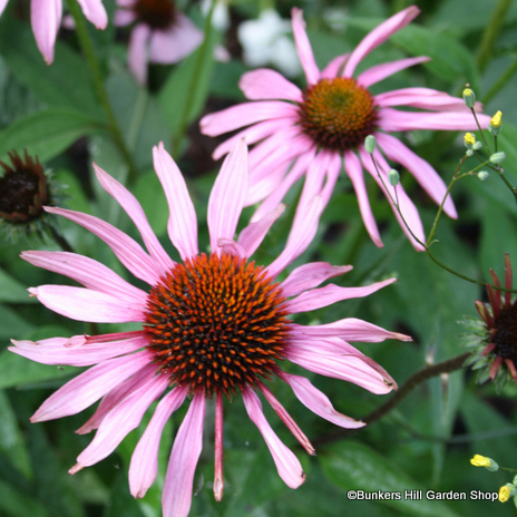 echinacea-purpurea-5-2.jpg