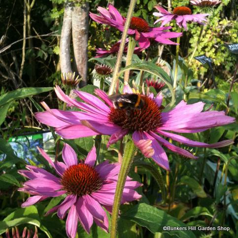 echinacea2.jpg