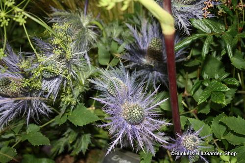 erygium-blue-star.jpg