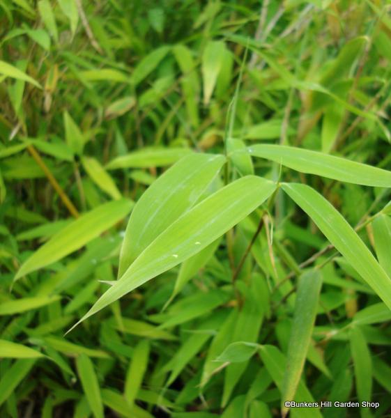 fargesia-murieliae-simba-22.jpg