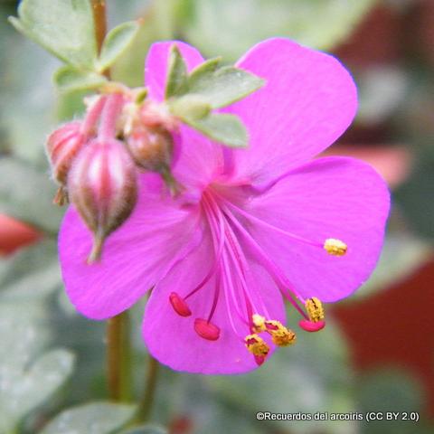 geranium-recuerdos-del-arcoiris-cc-by-2.0-.jpg