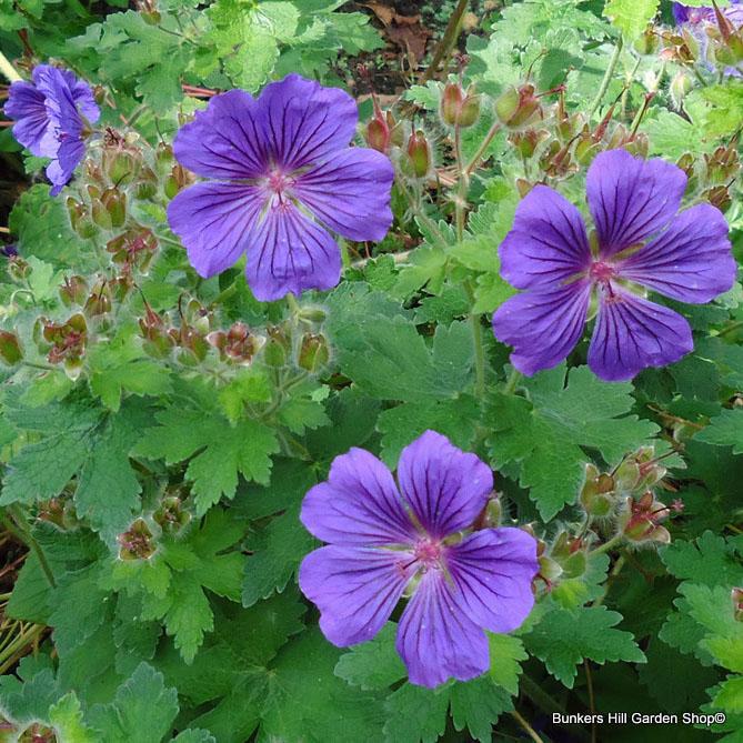 geranium3-001.jpg