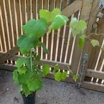 grape-vine-2.jpg