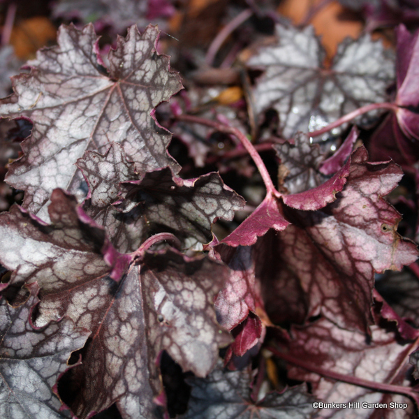 heuchera-palace-purple-sim-pic-.jpg