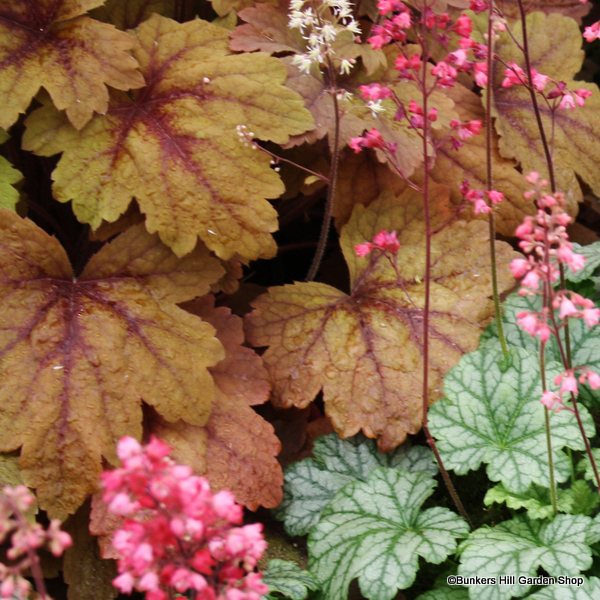 heuchera-paris2.jpg