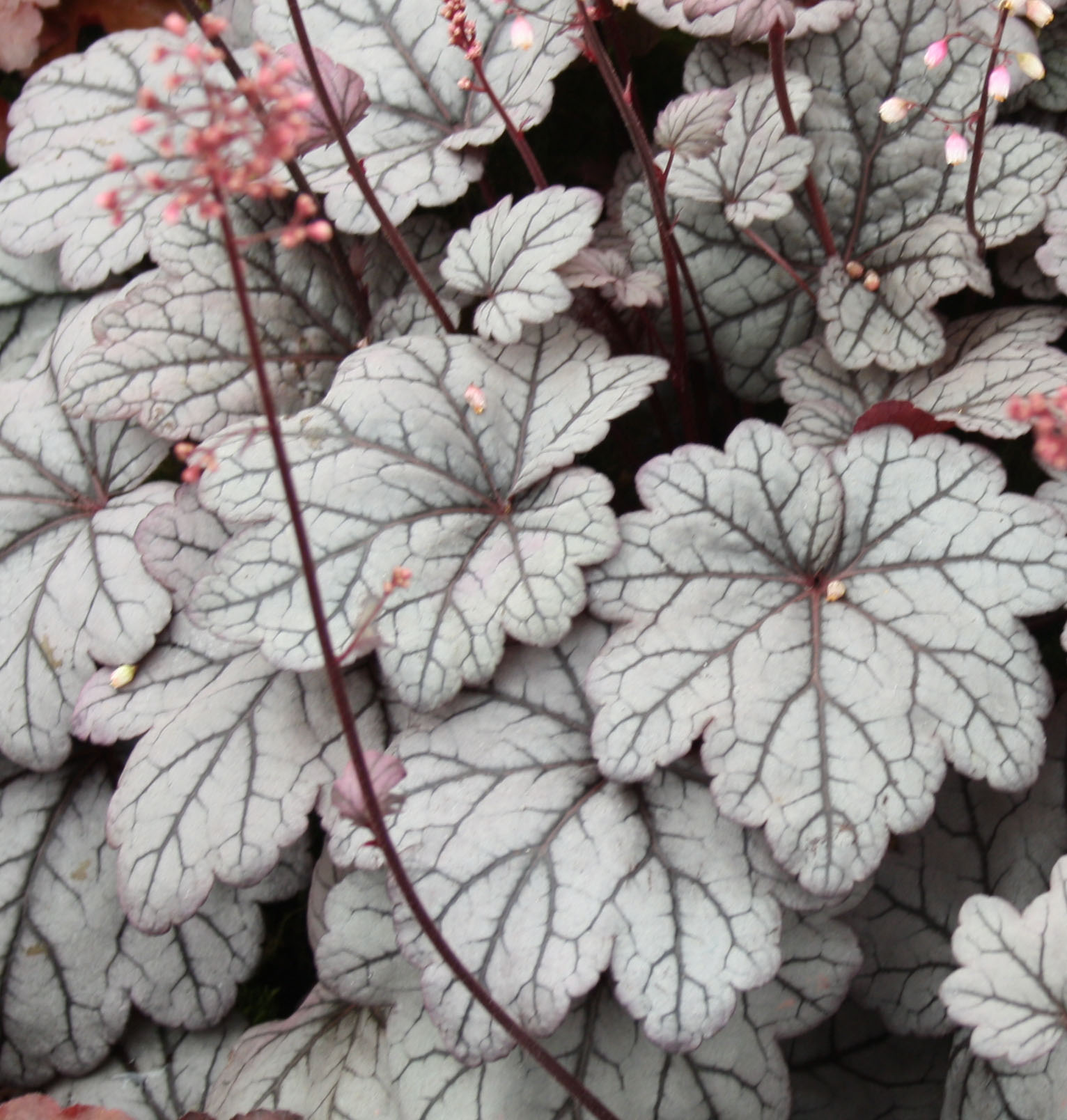 heuchera-sugar-plum.jpg