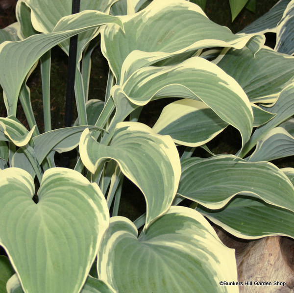 hosta-frances-williams-sim-pic-.jpg
