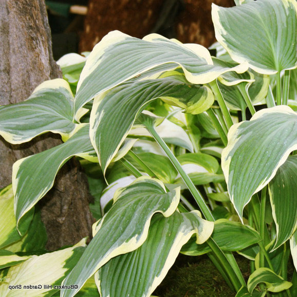 hosta-so-sweet-sim-pic-.jpg