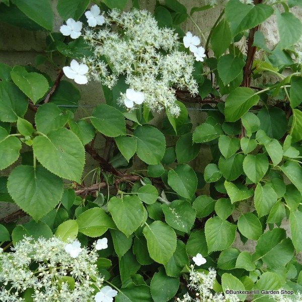 hydrangea-petriolaris.jpg