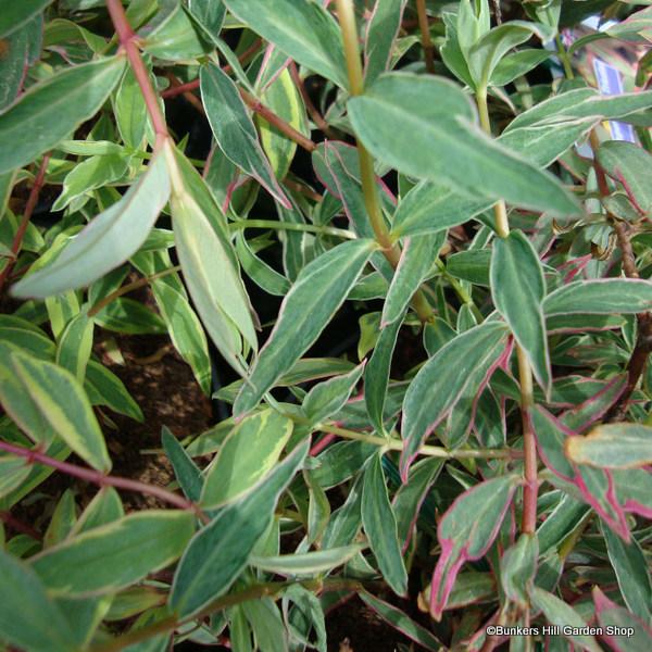 hypericum-moeranum-tricolour.jpg