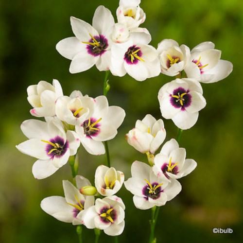 ixia-white-ibulb-.jpg