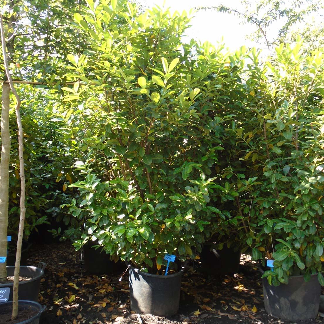 herb plants Mature