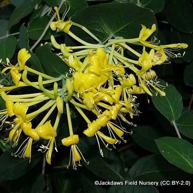 lonicera-tragophylla-jackdaws-field-nursery-cc-by-2.0-.jpg