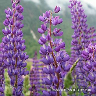 lupins-gallery-blue-satoru-kikuchi-cc-by-2.0-.jpg