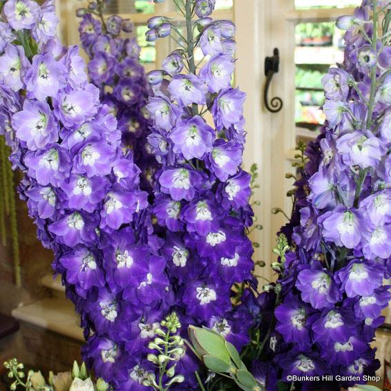 millenium-purple-passion-.jpg