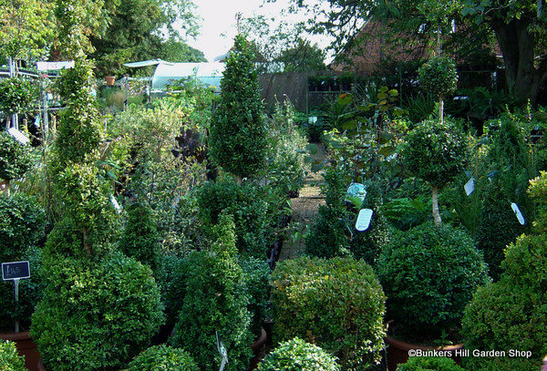 mixed-buxus.jpg