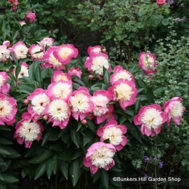 paeonia-bowl-of-beauty2.jpg
