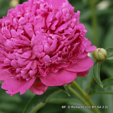 paeony-alexander-flemming-f.-d-richards-cc-by-sa-2.0-.jpg