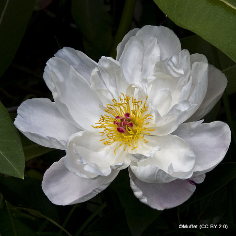 paeony-krinkled-white-muffet-cc-by-2.0-.jpg