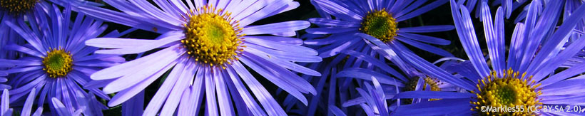 perennials-asters-banner.jpg